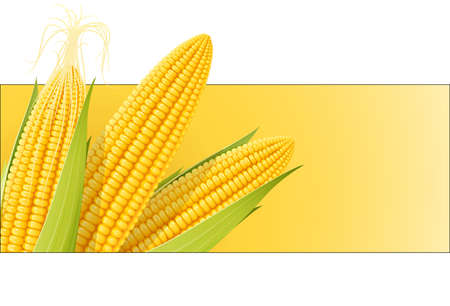 Corn cob. Organic food. Corncob natural meal. Ripe Maize. Product for cooking popcorn. Healthy eating. Vegetable. Realistic foodstuff. Isolated white background. EPS10 vector illustration.