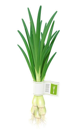 Onion. Ripe green vegetable. Natural food. Organic product for salad. Botanical plant. Healthy meal. Isolated white background. Eps10 vector illustration.