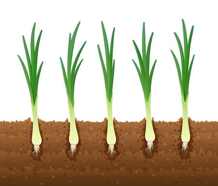 Onion in ground. Ripe green vegetable. Natural food. Organic product for salad. Botanical plant. Agriculture. Healthy meal. 矢量图像