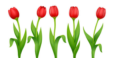 Tulip. Decorative spring flower with red bud and green leaves. Natural florists beauty. Set of Garden bloom plants. Springtime bouquet.