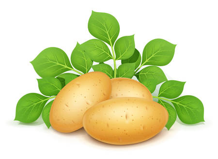 Three potatoes with leaves. Useful vegetable. Vegetarian food ingredient. Agriculture plant. Natural product. Isolated white background. Eps10 vector illustration.