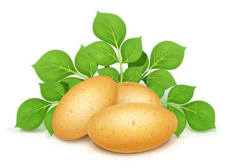 Tres patatas con hojas. Verdura útil. Ingrediente de comida vegetariana. Planta de agricultura. Producto natural. Fondo blanco aislado. Ilustración de vector Eps10.