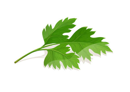Parsley Leaf. Greens for food, isolated on white background. Eps10 vector illustration. Vettoriali