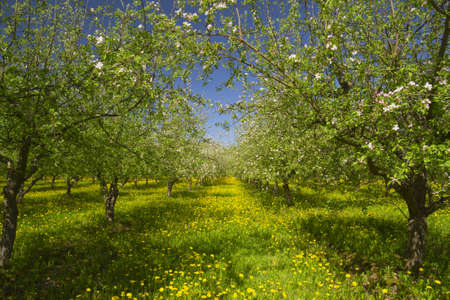 apple garden blossom photo