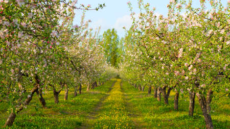 blossoming apple orchard photo