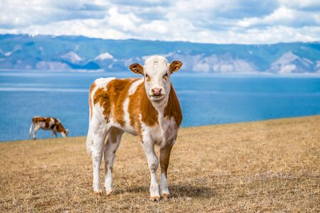 young cow: Young cow on the shores of lake