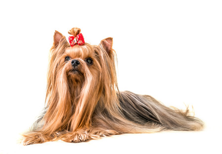 grooming: Dog Yorkshire Terrier isolated on a white background with a red bow