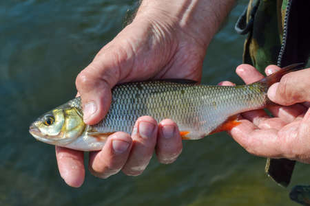 river fish roach in the hands of a lucky fisherman Reklamní fotografie