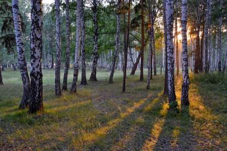 early summer morning in the birch forest Stok Fotoğraf