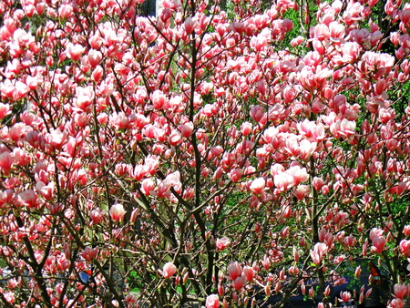 Bloomy magnolia tree with big pink flowers stock photo picture and bloomy magnolia tree with big pink flowers stock photo 75821262 mightylinksfo