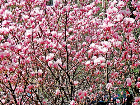 Bloomy magnolia tree with big pink flowers stock photo picture and bloomy magnolia tree with big pink flowers stock photo 75821269 mightylinksfo