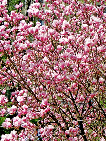 Bloomy magnolia tree with big pink flowers stock photo picture and bloomy magnolia tree with big pink flowers stock photo 75821271 mightylinksfo