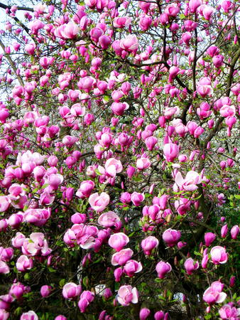 Bloomy magnolia tree with pink flowers