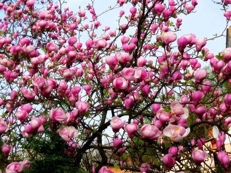 Bloomy magnolia tree with pink flowers stock photo picture and bloomy magnolia tree with pink flowers stock photo 76305836 mightylinksfo