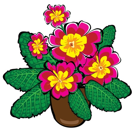 primula: red vector potted primrose flowers isolated on white background Illustration