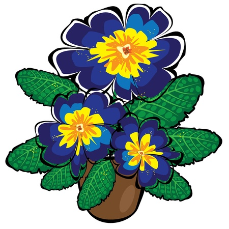 primula: blue vector potted primrose flowers isolated on white background