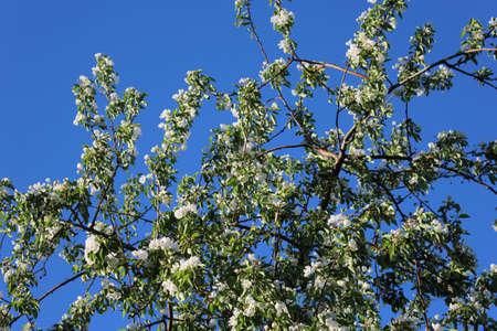 bloom: apple tree in bloom