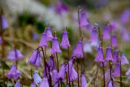 Beautiful bell-flower in  Italian Alps