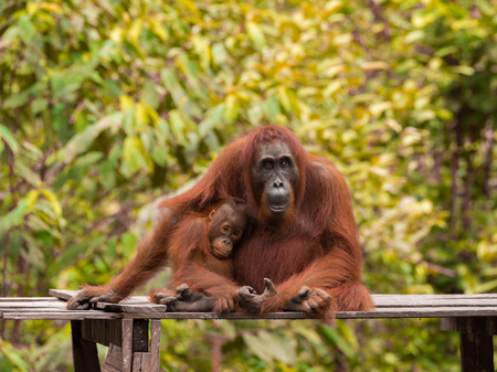 indonesian biodiversity: Baby orangutan sitting next to her mother on a wooden platform on a background of yellow leaves (Tanjung Puting National Park, Borneo  Kalimantan, Indonesia)