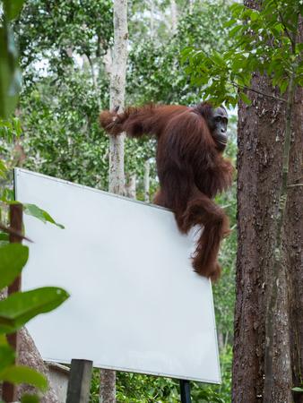 indonesian biodiversity: Auburn orangutan sits on the back corner of the billboard in the jungle (Tanjung Puting National Park, Borneo  Kalimantan, Indonesia)