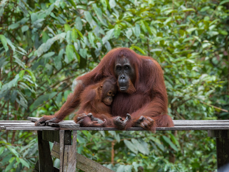 Mom and baby orangutans sleepily sit on a wooden platform in the jungle (Tanjung Puting National Park, Borneo / Kalimantan, Indonesia)