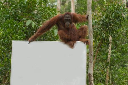 indonesian biodiversity: Strong orangutan sits on a billboard in the jungle (Tanjung Puting National Park, Borneo  Kalimantan, Indonesia)