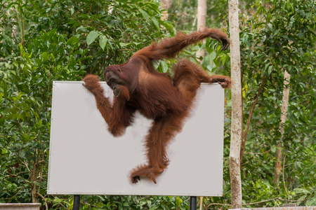 indonesian biodiversity: Strong orangutan easily moved along the billboard in the jungle (Tanjung Puting National Park, Borneo  Kalimantan, Indonesia)