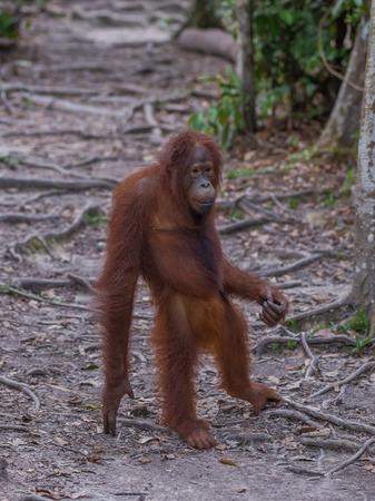 republik: Good fellow orangutan standing on the road and thinking (Indonesia, Borneo  Kalimantan) Stock Photo