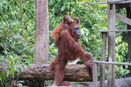 indonesian biodiversity: Child-orangutan on the back of his mothers approaching to the place for lunch (Indonesia, Borneo  Kalimantan) Stock Photo