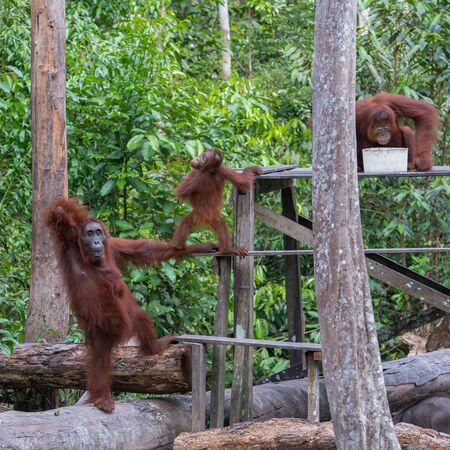indonesian biodiversity: Orangutans family came for breakfast to a wooden deck with milk (Indonesia, Kalimantan)