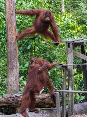 indonesian biodiversity: Vigorous orangutans communicate with each other near their a dining area (Borneo, Indonesia) Stock Photo