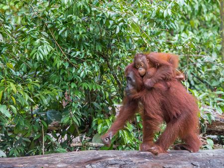 indonesian biodiversity: Mama orangutan goes on a log with a baby on her back (Borneo, Indonesia)