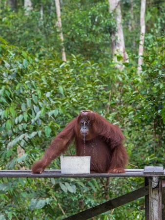 indonesian biodiversity: Thoughtful orangutan drinking milk using a hand on a wooden platform (Borneo, Indonesia)