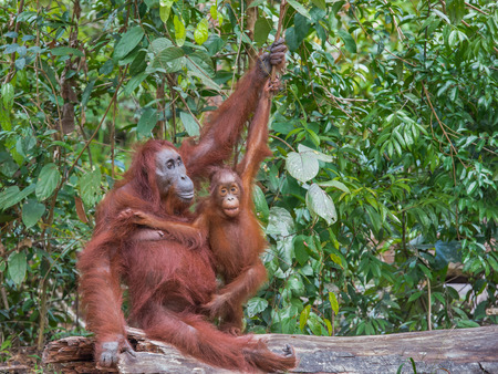 natural force: Friendly mother and baby orangutans sit on a log lying down (Borneo, Indonesia)