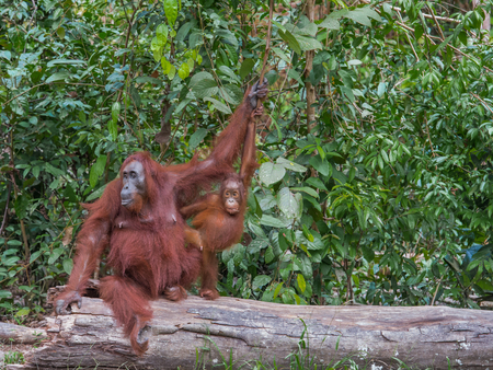 indonesian biodiversity: Mama orangutan and her inquisitive child sitting on a log in the jungle of Indonesia (Borneo) Stock Photo