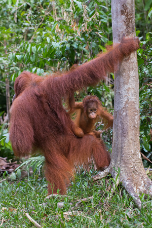 indonesian biodiversity: Somewhere in the jungles of Indonesia baby orangutan on the knees of her mother learns the world around (Borneo)