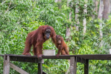 indonesian biodiversity: Orangutan with strong pads breakfast on a wooden platform (Borneo)