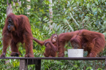 indonesian biodiversity: Cute baby orangutan sitting between his parents on a wooden platform at the dinner (Tanjung Puting National Park, Indonesia, Borneo  Kalimantan)