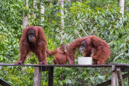 celebes: Orangutan Family dines on a wooden platform (Tanjung Puting National Park, Indonesia, Borneo  Kalimantan)