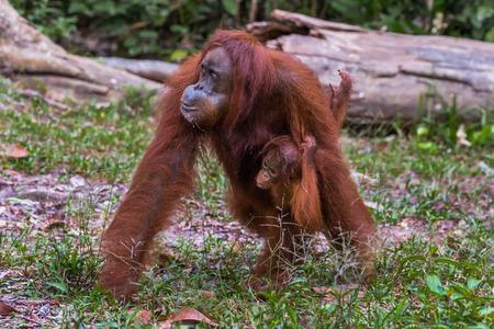 indonesian biodiversity: Redhead mom orangutan walking with their baby in the jungle of Indonesia (Borneo, Indonesia)