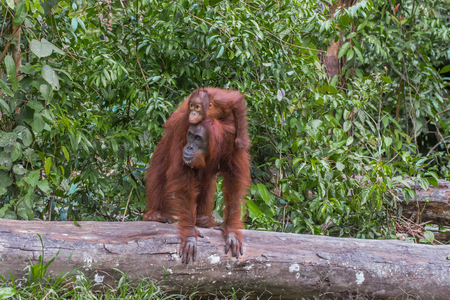 indonesian biodiversity: Mother orangutan standing on a log with a child on her back in the jungles of Indonesia (Borneo  Kalimantan)