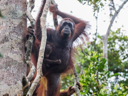 indonesian biodiversity: Two orangutan peeking from behind a tree (Indonesia, Borneo  Kalimantan)