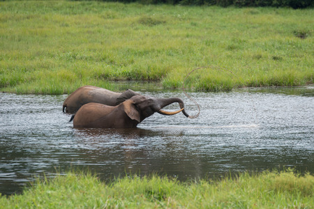 amicable: Two amicable elephant playing in the water, collect water in the trunk (Nouabal-Ndoki National Park, Republic of the Congo) Stock Photo
