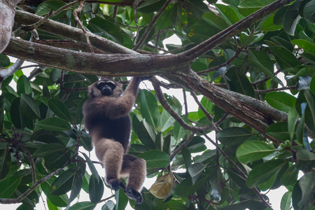 indonesian biodiversity: Lar gibbon from Borneo deftly moves through the tall trees (Kalimantan, Indonesia) Stock Photo