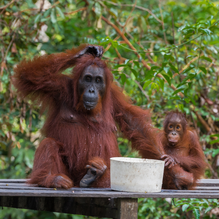 pongo: Mama orangutan and her baby sitting musingly on a wooden platform near the bowls with food (Borneo  Kalimantan, Indonesia)