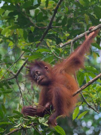 indonesian biodiversity: Cute baby-orangutan sits on a tree (Borneo  Kalimantan, Indonesia) Stock Photo