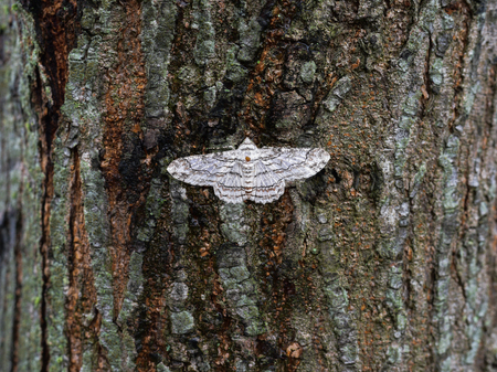 indonesian biodiversity: White butterfly sitting on a gray-red bark (Sumatra, Indonesia)