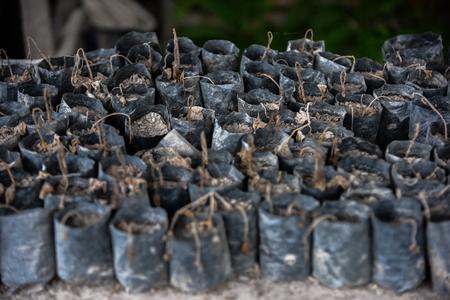 indonesian biodiversity: Sprinkle seasoning volcanic ash has not wanted (Sumatra, Indonesia)