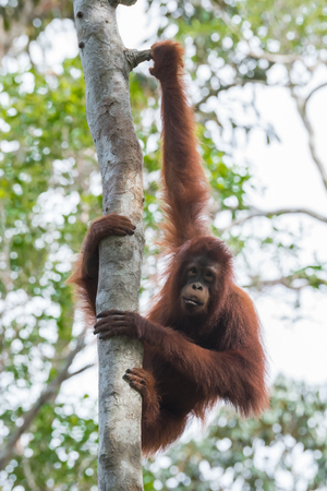indonesian biodiversity: Auburn orangutan caught his long arms to a tree and hanging (Borneo  Kalimantan, Indonesia)
