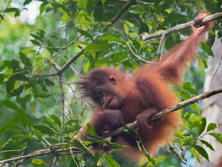 indonesian biodiversity: Fluffy baby-orangutan sits on a branch (Borneo  Kalimantan, Indonesia) Stock Photo